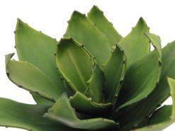 EUROPALMS Agave (EVA), green, 45cm