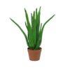 EUROPALMS Aloe Vera Plant, 63cm