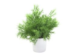 EUROPALMS Asparagus, 24cm