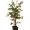 EUROPALMS Bamboo black trunk, 152cm
