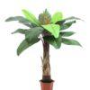 EUROPALMS Bird of paradise palm, 180cm
