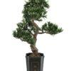 EUROPALMS Bonsai podocarpus, 80cm
