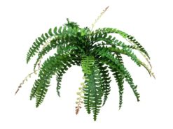 EUROPALMS Boston fern with flower, green, 85cm