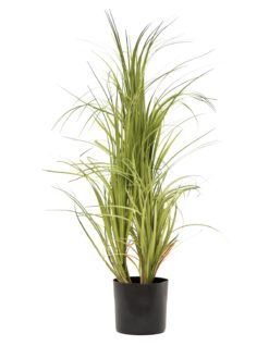 EUROPALMS Dracena bush, with black Pot, 80cm