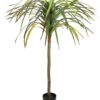 EUROPALMS Dracena, red-green, 170cm