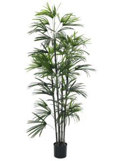 EUROPALMS Fan palm seedling, 150cm