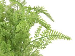 EUROPALMS Forest fern in pot, 25 cm