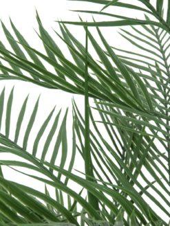 EUROPALMS Kentia palm tree, 150cm