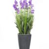 EUROPALMS Lavender, purple, in pot, 45cm
