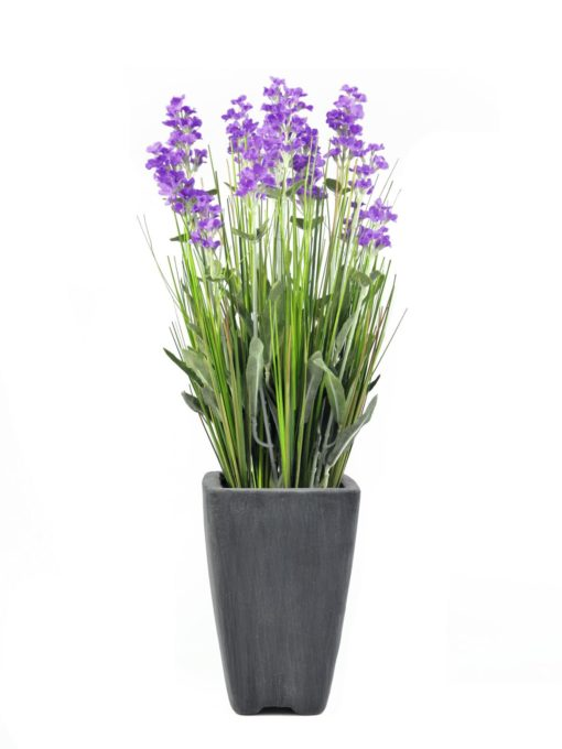 EUROPALMS Lavender, purple, in pot, 45cm