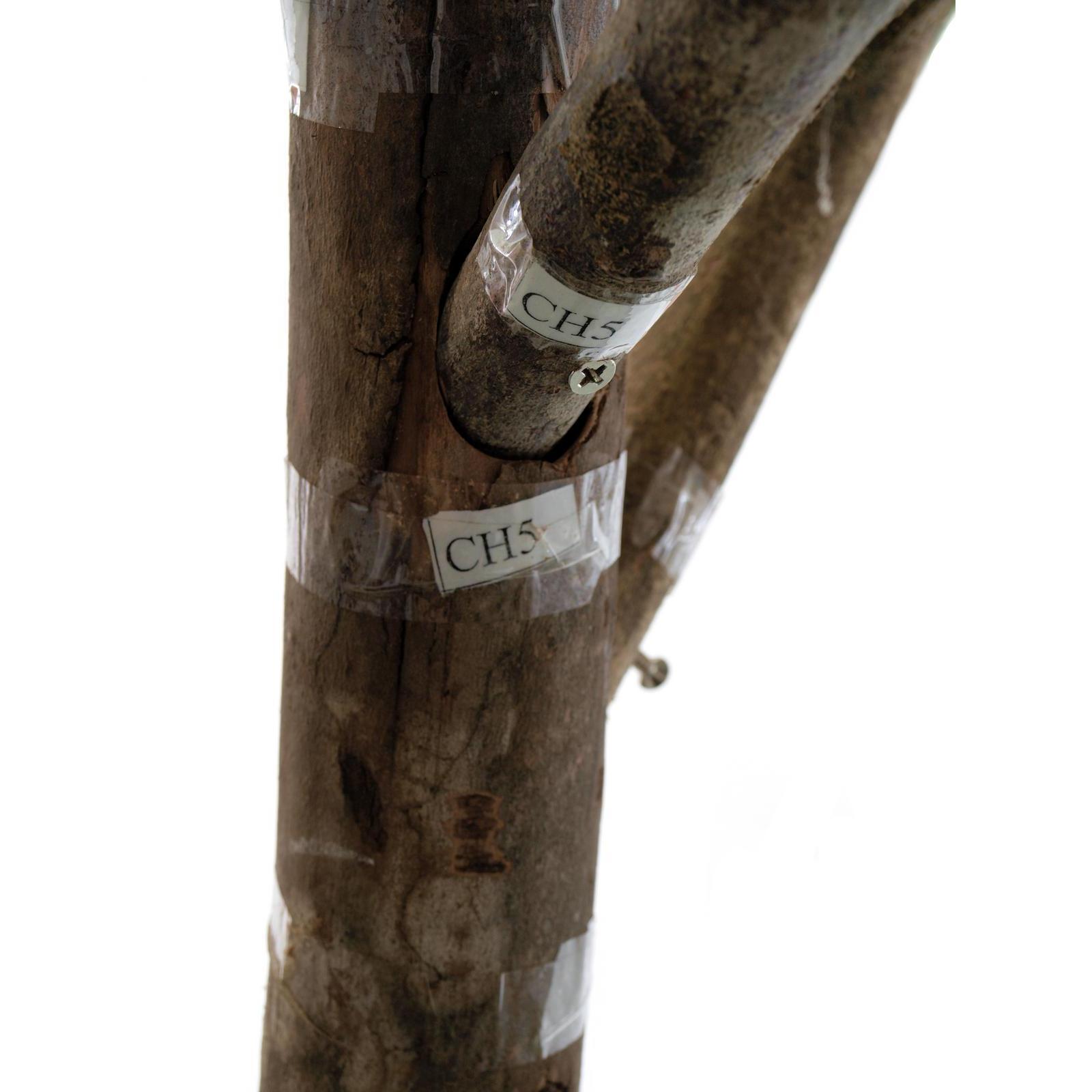 Europalms magnolia tree 150cm su for Bougainvillea bonsai prezzo