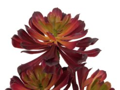 EUROPALMS Succelent Aeonium plant, dark-red, 28cm