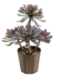 EUROPALMS SucculentAeonium plant, 30cm