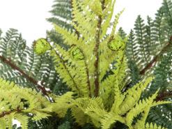 EUROPALMS Forest fern, 50cm