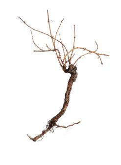 EUROPALMS Grapevine 150cm