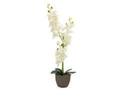 EUROPALMS Orchid, cream, 65cm