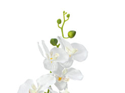 EUROPALMS Orchid, white, 65cm