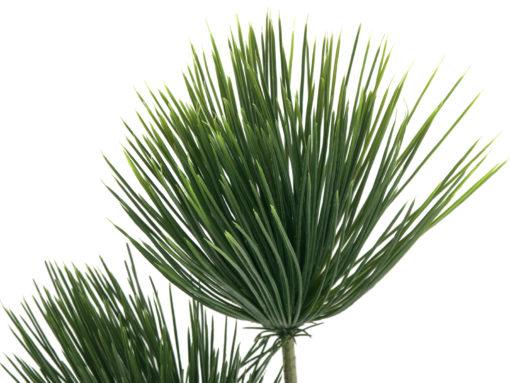 EUROPALMS Papyrus plant, 100cm